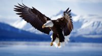 Bald Eagle in Flight Alaska206538590 200x110 - Bald Eagle in Flight Alaska - Flight, Eagle, Bald, Alaska