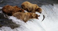 Brown Bears Alaska6092711681 200x110 - Brown Bears Alaska - Cheetah, Brown, Bears, Alaska