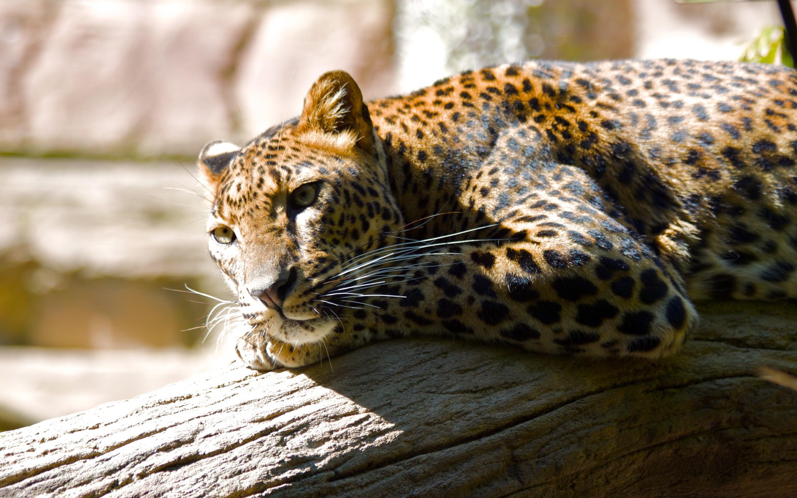 wallpaper leopard hq kitten, leopard