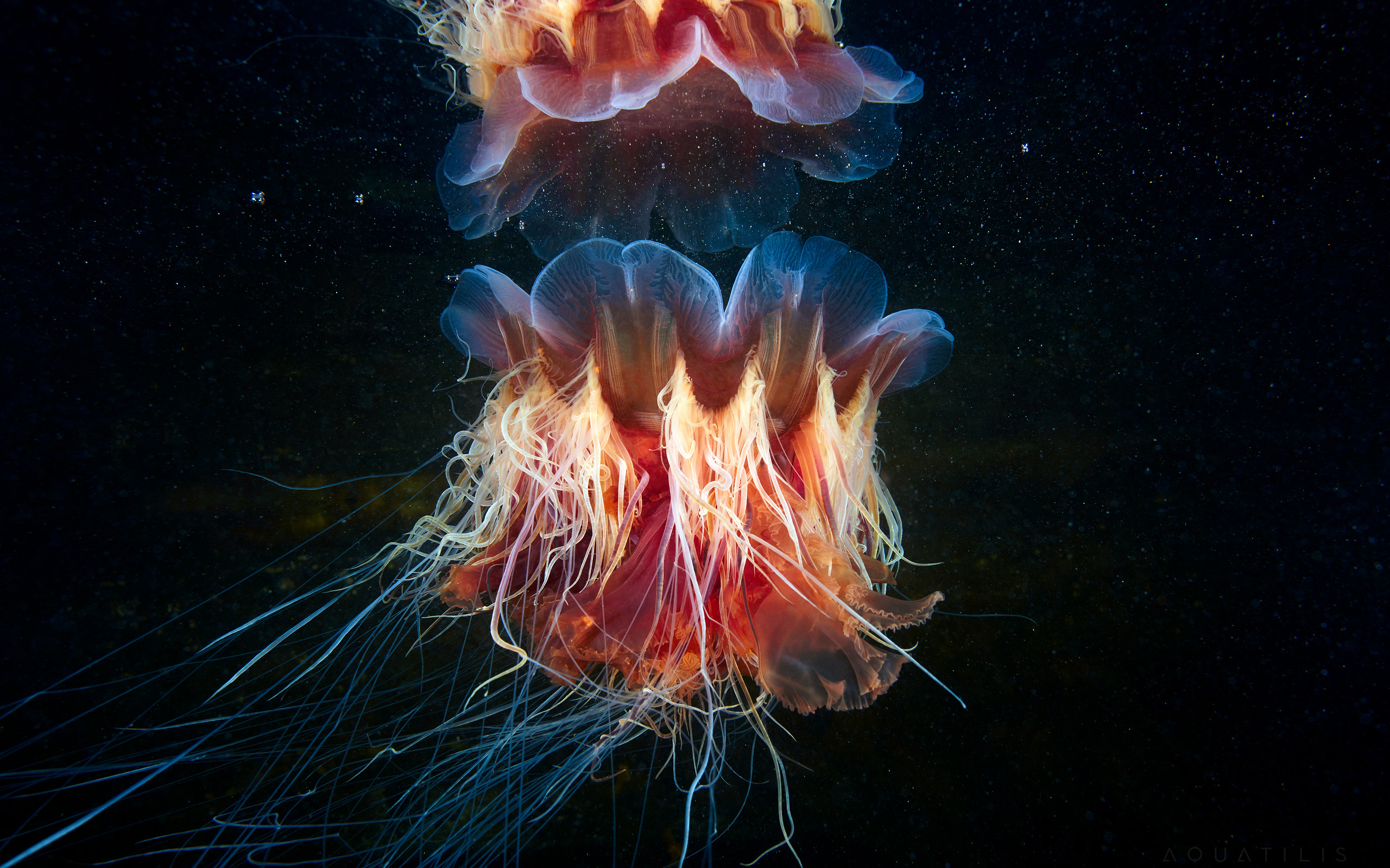 Wallpaper Lions Mane Jellyfish And