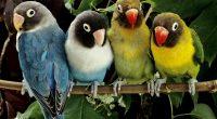 Lovebirds9621212547 200x110 - Lovebirds - Lovebirds, Leopard