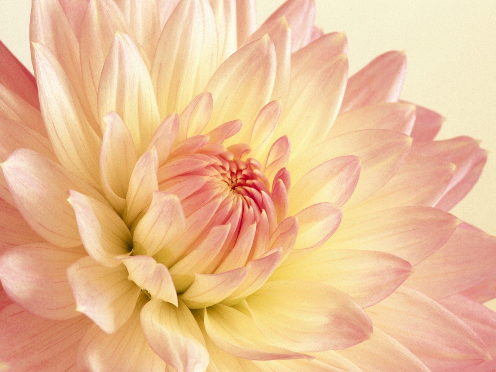 Wallpaper pale pink and yellow dahlia dahlia pale pink single yellow pale pink and yellow dahlia mightylinksfo