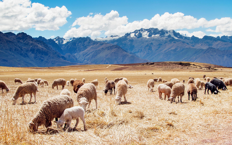 Wallpaper Peru Sheep Fields Pigeon