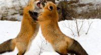 Red Foxes Montana2383512232 200x110 - Red Foxes Montana - Montana, Foxes, Afternoon
