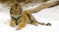 Snowy Afternoon Tiger222912820 200x110 - Snowy Afternoon Tiger - Toco, Tiger, Snowy, Afternoon