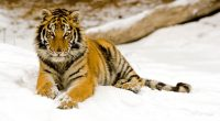 Snowy Afternoon Tiger9907111780 200x110 - Snowy Afternoon Tiger - Tiger, Snowy, City, Afternoon