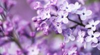 Spring Purple Flowers15195179 200x110 - Spring Purple Flowers - Spring, Purple, Flowers, Camomille