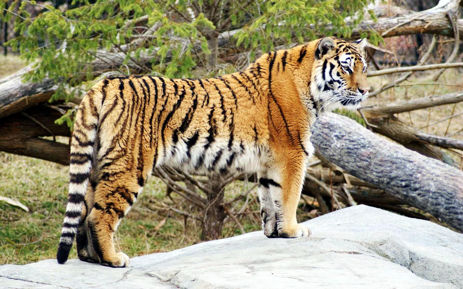 wallpaper tiger widescreen hd gray, tiger, widescreen