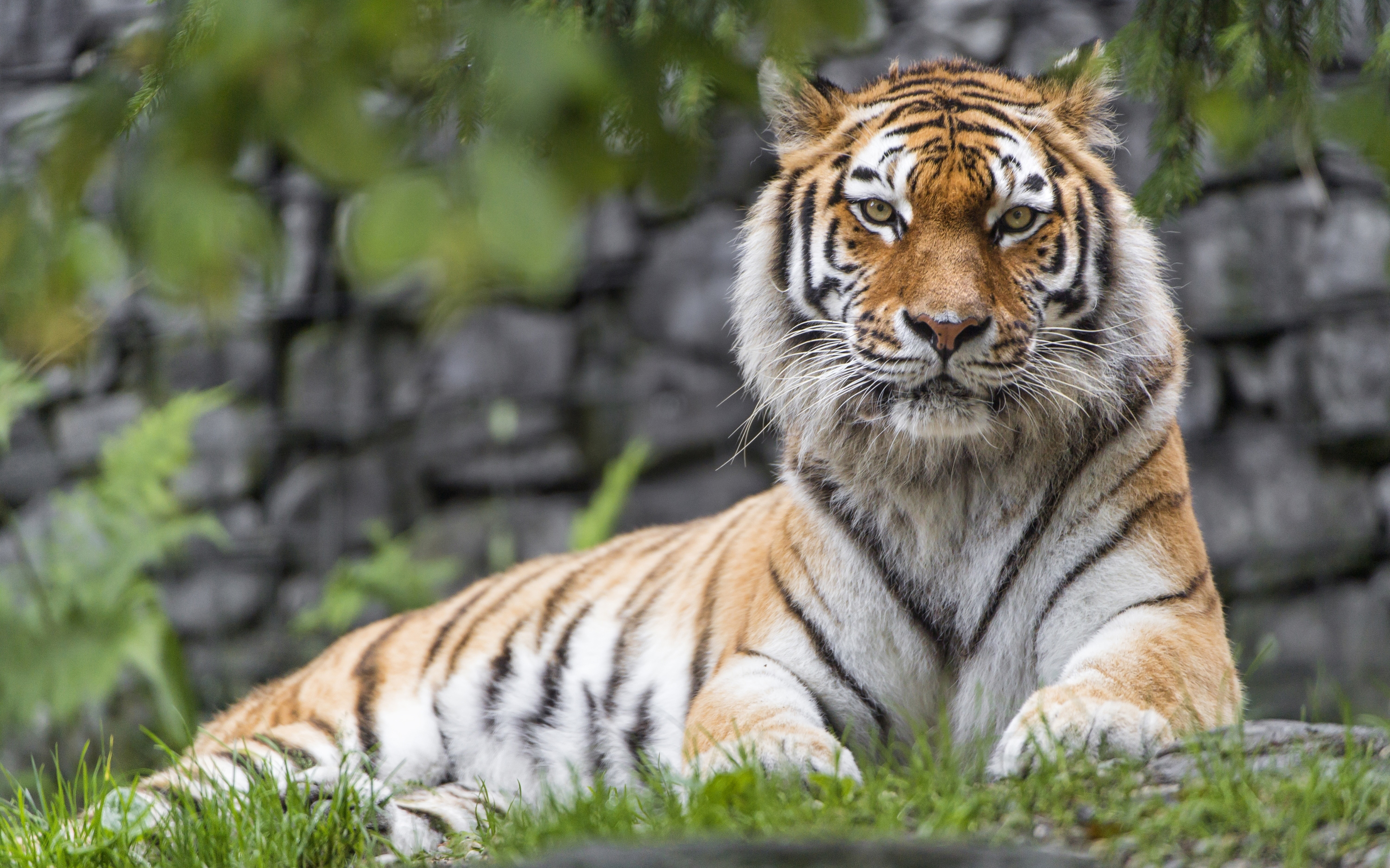Zoo Tiger931589218 - Zoo Tiger - Zoo, Tiger, Leopard