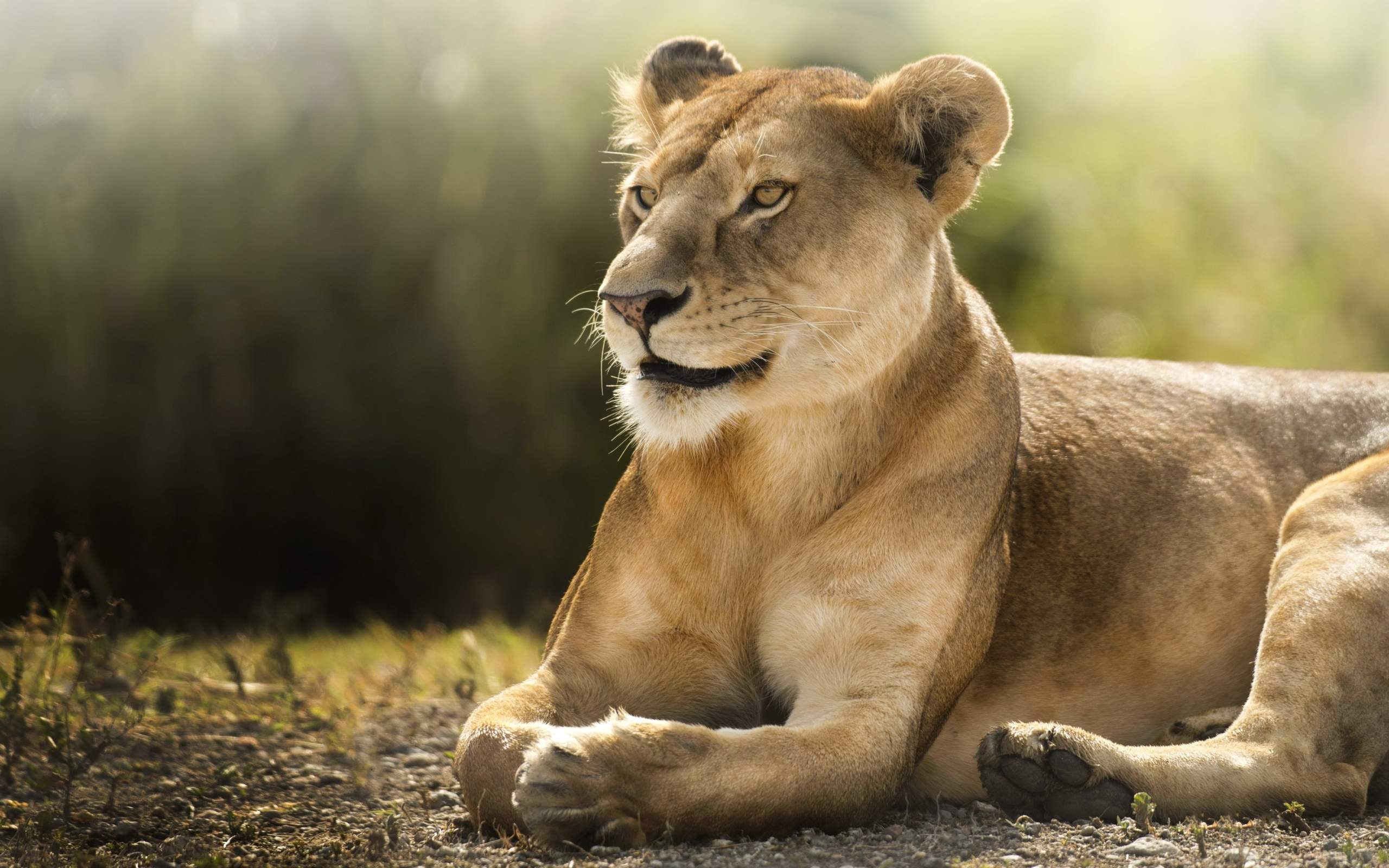 African Lioness HD488974041 - African Lioness HD - Lioness, Jumanji, African