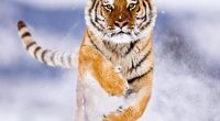 Amur Tiger in Snow481042657 200x110 - Amur Tiger in Snow - Tiger, Snow, Rainforest, Amur
