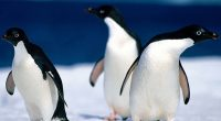 Animals Pinguine6643212100 200x110 - Animals Pinguine - Plumage, Pinguine, Animals