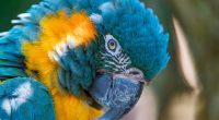 Blue and yellow Macaw 5K4609614328 200x110 - Blue and yellow Macaw 5K - yellow, Macaw, Bulldog, blue, and