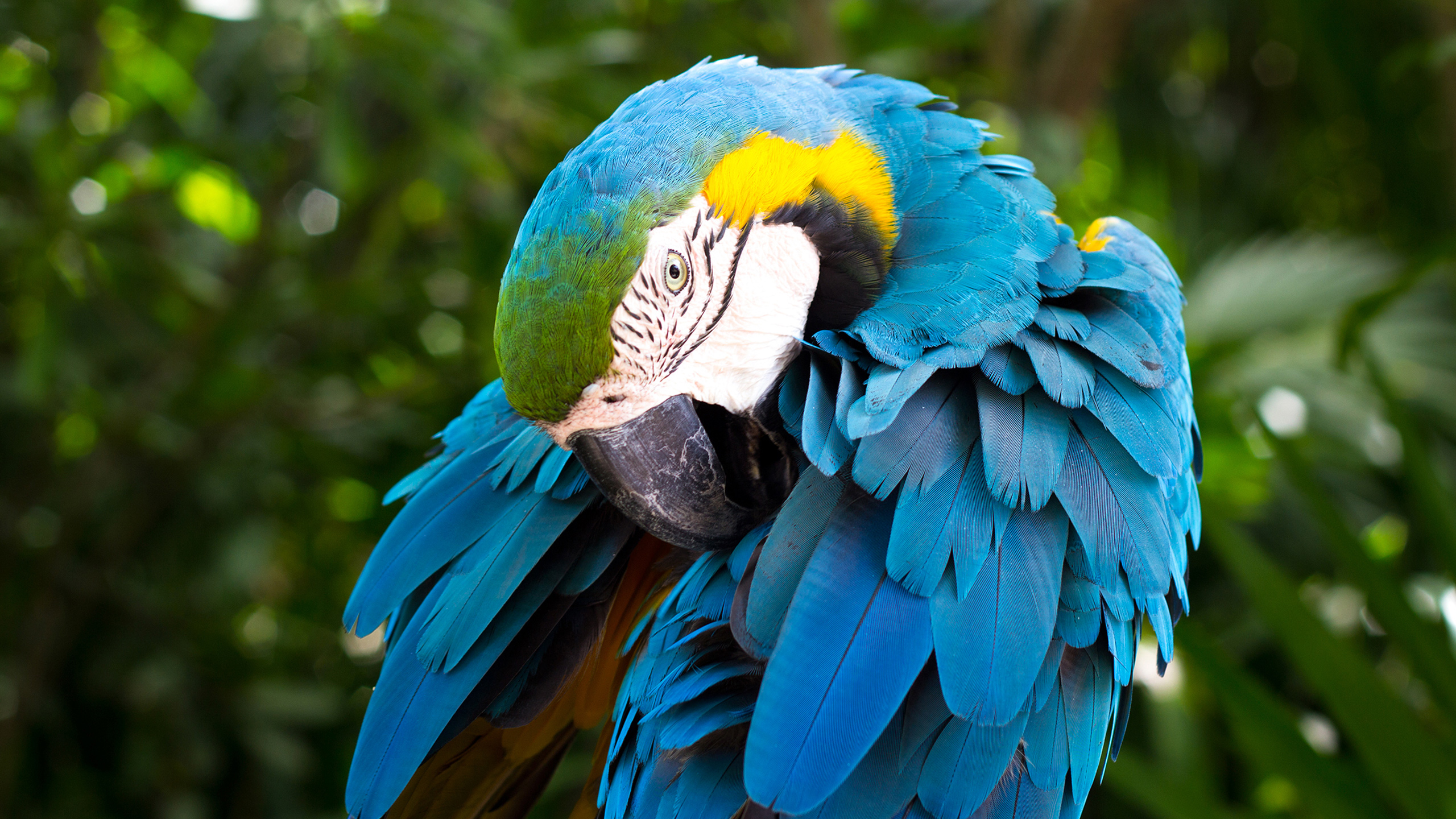 Blue and yellow Macaw661341473 - Blue and yellow Macaw - yellow, Macaw, Family, blue, and