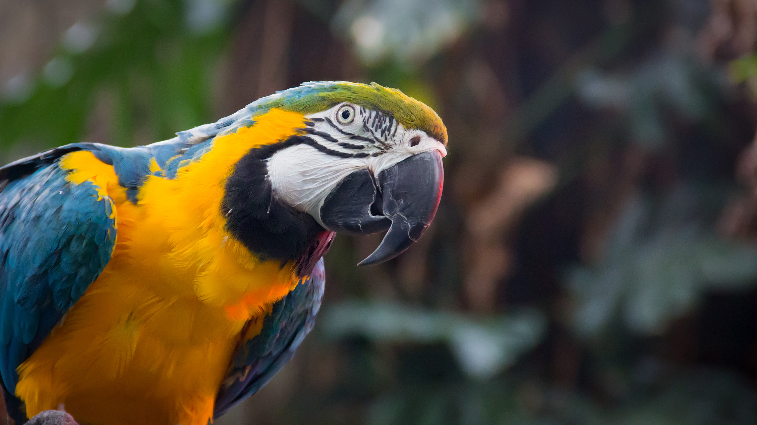 Blue and yellow macaw HD243202225 - Blue and yellow macaw HD - yellow, Macaw, Kitty, blue, and