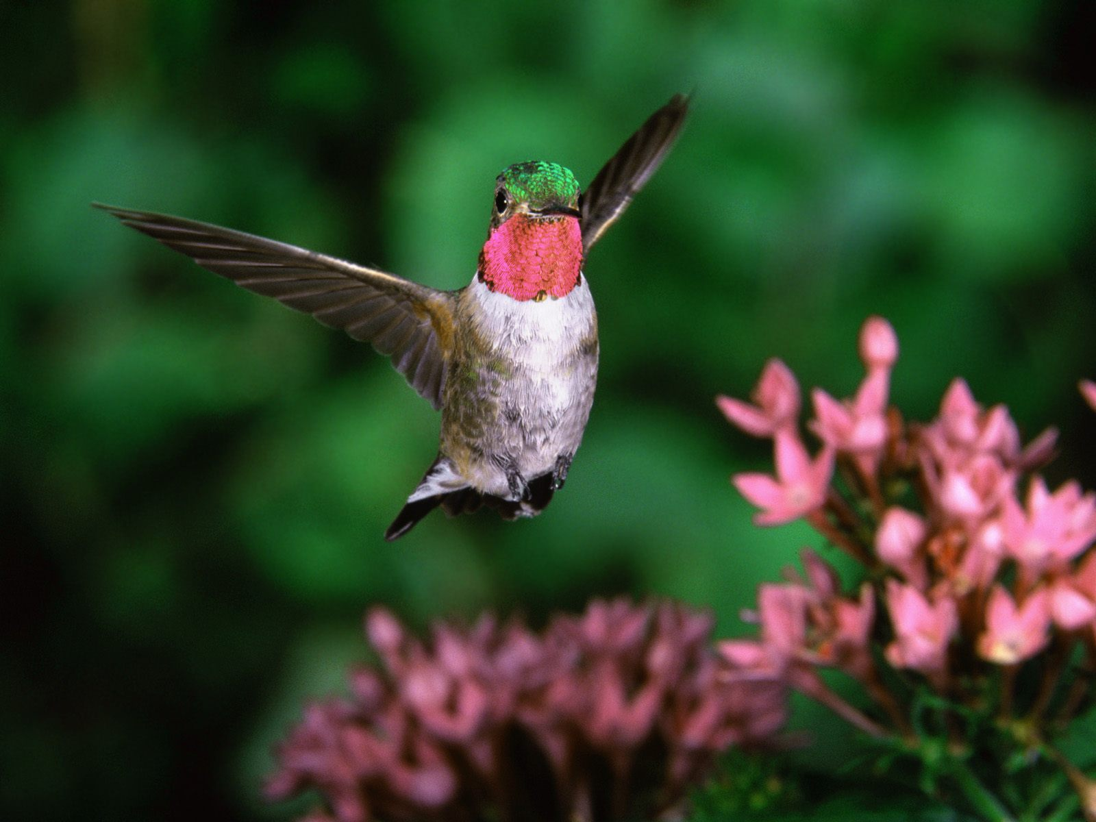 Broadtail Humming Bird867263101 - Broadtail Humming Bird - Wolf, Humming, Broadtail, Bird