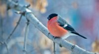 Bullfinch Winter 4K708292856 200x110 - Bullfinch Winter 4K - Winter, Elena, Bullfinch