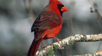 Cardinal214415975 200x110 - Cardinal - Whet, Cardinal