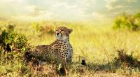 Cheetah Savanna Africa4917415692 200x110 - Cheetah Savanna Africa - Savanna, Lion, Cheetah, Africa