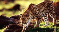 Cheetah928683307 200x110 - Cheetah - Parrot, Cheetah