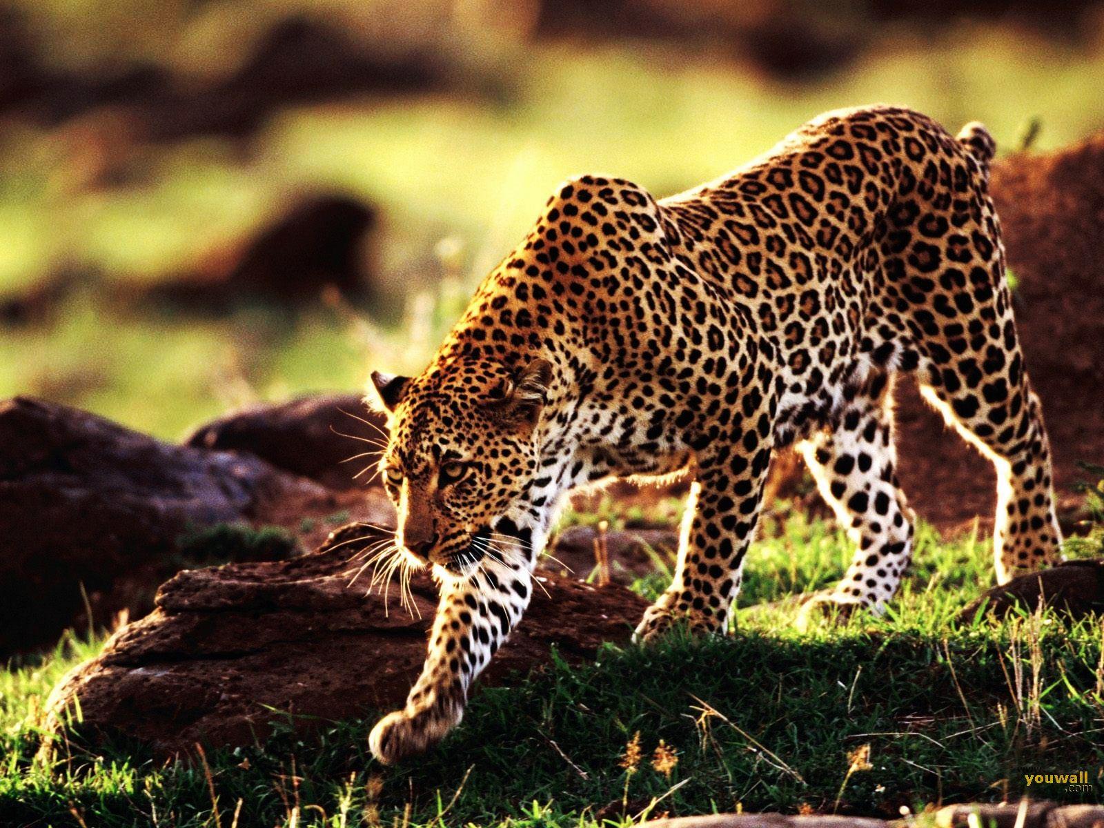 Cheetah928683307 - Cheetah - Parrot, Cheetah