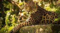 Chincha the Jaguar3713419221 200x110 - Chincha the Jaguar - The, Reserve, Jaguar, Chincha