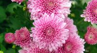 Chrysanthemum Flowers7081911084 200x110 - Chrysanthemum Flowers - Tulips, Flowers, Chrysanthemum