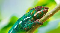 Colorful Chameleon 4K5796519565 200x110 - Colorful Chameleon 4K - Deer, Colorful, Chameleon