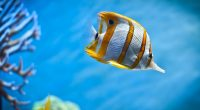 Copperband Butterfly Fish974148729 200x110 - Copperband Butterfly Fish - Tiger, Fish, Copperband, Butterfly