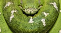 Emerald Tree Boa Amazon Equador955087074 200x110 - Emerald Tree Boa Amazon Equador - tree, Equador, Emerald, Easter, Amazon