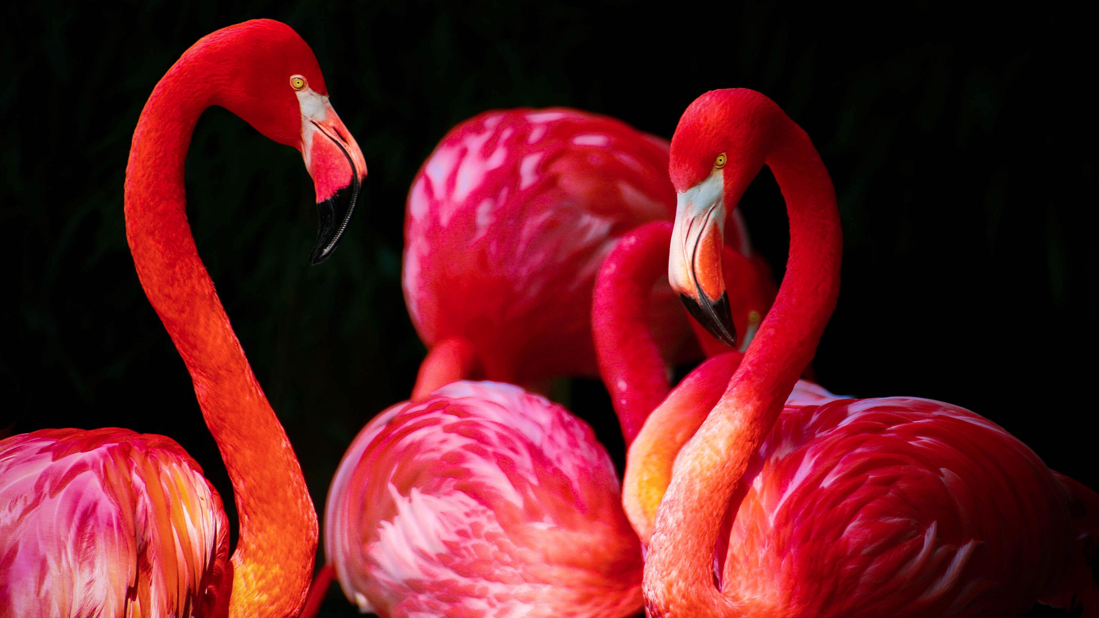 Flamingos5586212348 - Flamingos - Flamingos