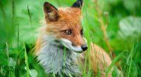 Fox361579988 200x110 - Fox -