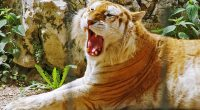 Golden Tiger HDTV 1080p415294530 200x110 - Golden Tiger HDTV 1080p - Tiger, HDTV, Golden, 1080p