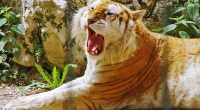 Golden Tiger3144813884 200x110 - Golden Tiger - Tiger, Quetzal, Golden