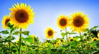 Gorgeous Sunflowers463284561 200x110 - Gorgeous Sunflowers - Sunflowers, Gorgeous, Awesome