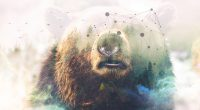 Grizzly bear Forest Double Exposure 4K5071518985 200x110 - Grizzly bear Forest Double Exposure 4K - Maller, Grizzly, Forest, Exposure, Double, Bear