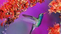 Hummingbird2056111992 200x110 - Hummingbird - Hummingbird, Amurshaya