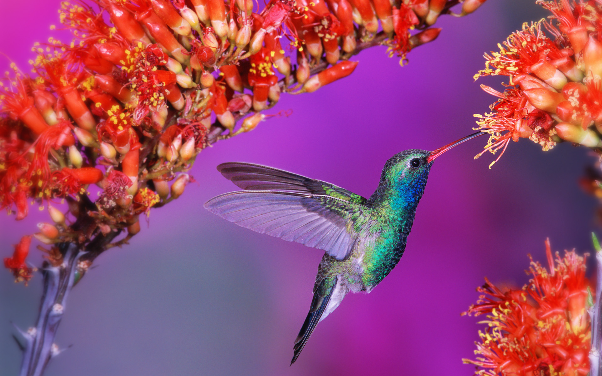 Hummingbird2056111992 - Hummingbird - Hummingbird, Amurshaya