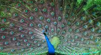 Indian Peafowl1242011937 200x110 - Indian Peafowl - Peafowl, Indian, Cherry