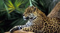 Jaguar in Amazon Rainforest1617210652 200x110 - Jaguar in Amazon Rainforest - Rainforest, Kittens, Jaguar, Amazon