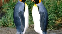 King Penguins6414219261 200x110 - King Penguins - Tropical, Penguins, King