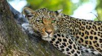 Leopard7145611264 200x110 - Leopard - Night, Leopard