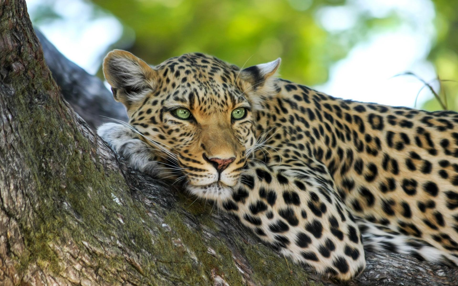 Leopard7145611264 - Leopard - Night, Leopard