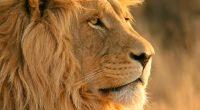 Lion155368125 200x110 - Lion - Livingston, Lion