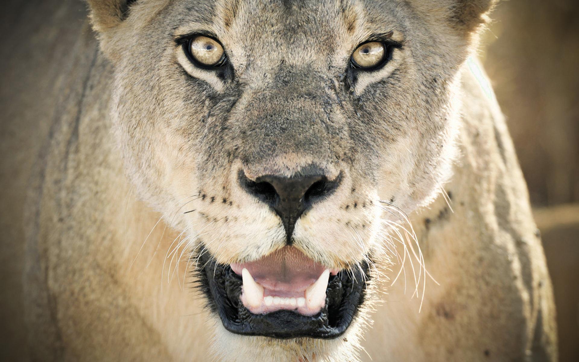 Lioness52068276 - Lioness - Lioness, Closeup