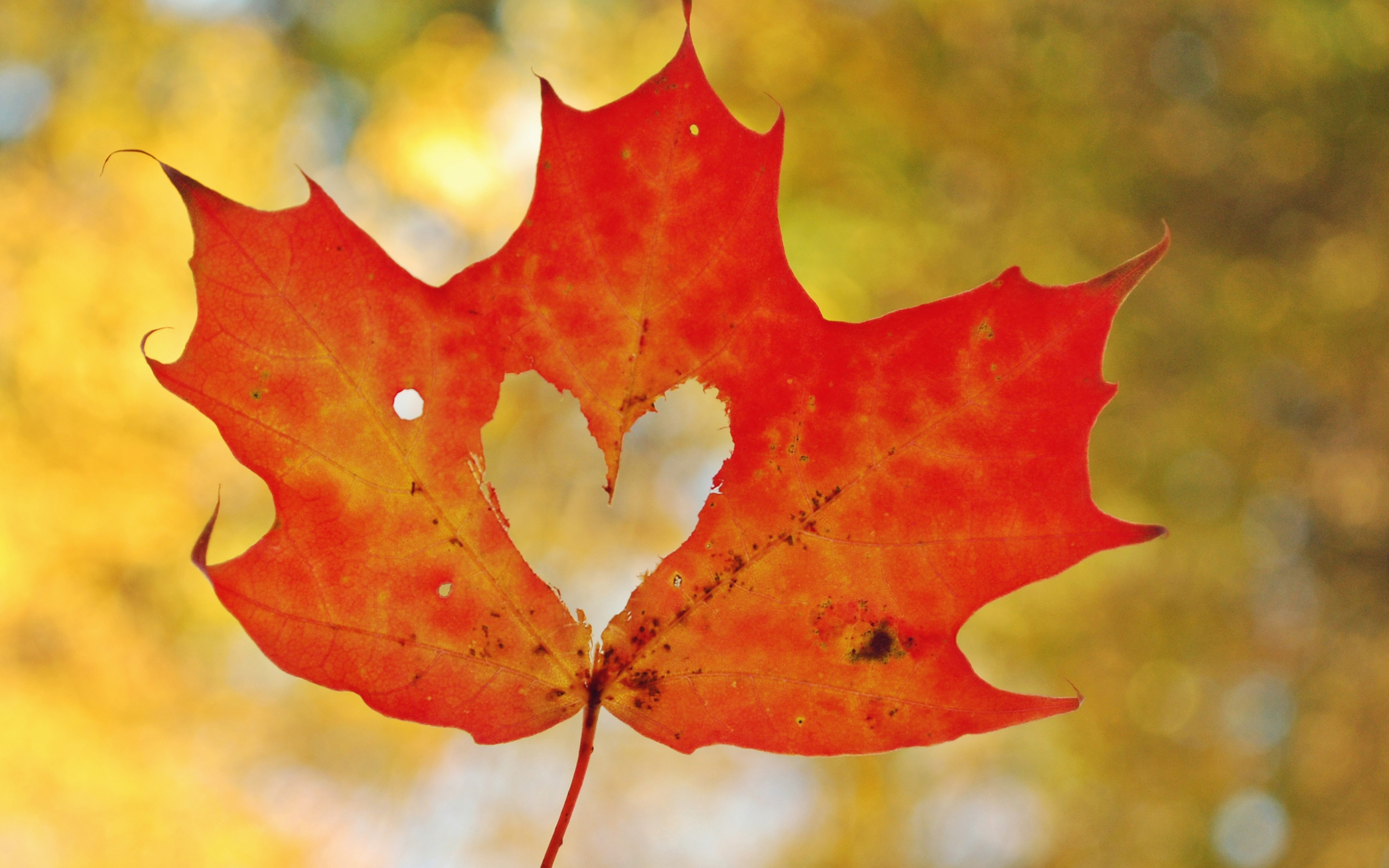 Love Heart Maple Leaf494993012 - Love Heart Maple Leaf - Poppies, Maple, Love, leaf, Heart