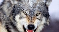 Mad Wolf722476721 200x110 - Mad Wolf - Wolf, Eagle