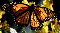 Monarch1623118617 200x110 - Monarch - Monarch, Afternoon