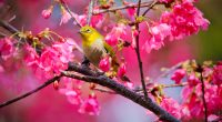 Mountain Cherry Bird749309203 200x110 - Mountain Cherry Bird - Mountain, Cherry, Butterfly, Bird