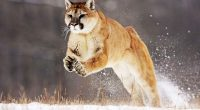 Mountain Lion5408316672 200x110 - Mountain Lion - Mountain, Lion, Leopard